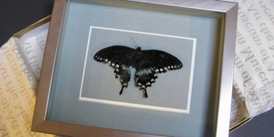 Black swallowtail butterfly, found and framed